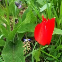 Een prachtige rode Tulipa Linifolia